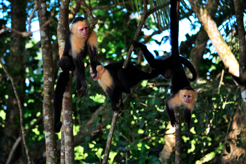 A group of white-face monkeys are intrigued about the humans below them.